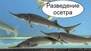 Разведение осетра. Выращивание осетровых рыб. Бизнес идея