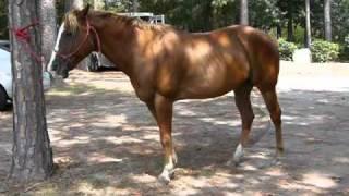 Rio - 11 yr. old, gentle, gentle QH Quarter Horse