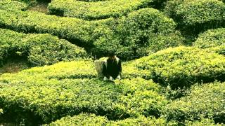 BOH - Best of Highland Tea Plantation / Cameron Highlands Malaysia