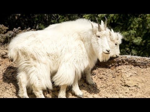 Mountain Goats In Canada's Rockies Still Carrying Their Amazing Winter Coats
