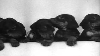 A Doberman Pinscher In Vancouver Gives Birth To Twelve Pups Hd Stock Footage