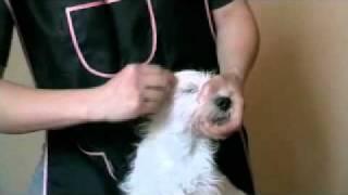 Pierwsze Trymowanie Szczeniaka West Highland White Terriera