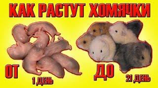 КАК РАСТУТ ХОМКИ | ХОМЯЧАТА С 1го по 21й ДЕНЬ | ХОМЯЧКИ | ОНЛАЙН | HOW TO GROW hamster