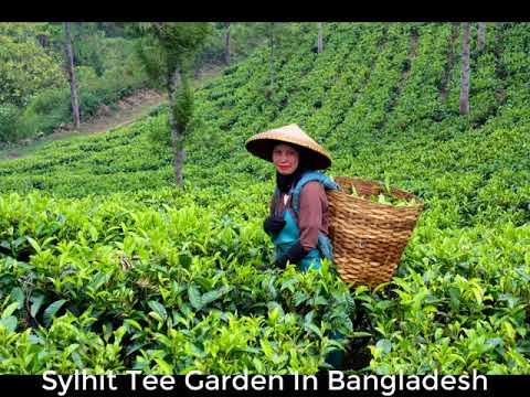 Sylhet Tee Garden Of Bangladesh