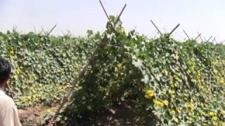गिलकी / तोरई की खेती /sponge gourd farming