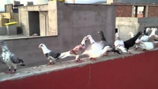 Filo güvercinleri