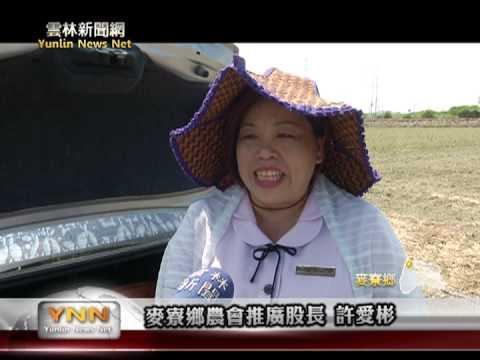雲林新聞網 麥寮興華國小小農夫採收稻穗
