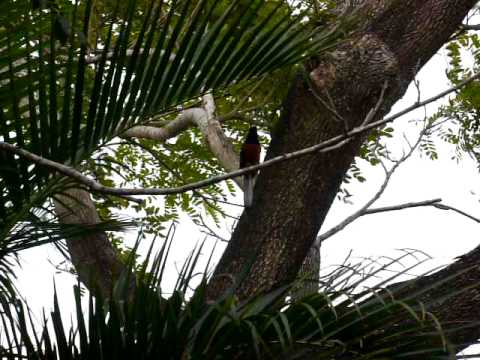 song bird---shama thrush---kauai, hawaii
