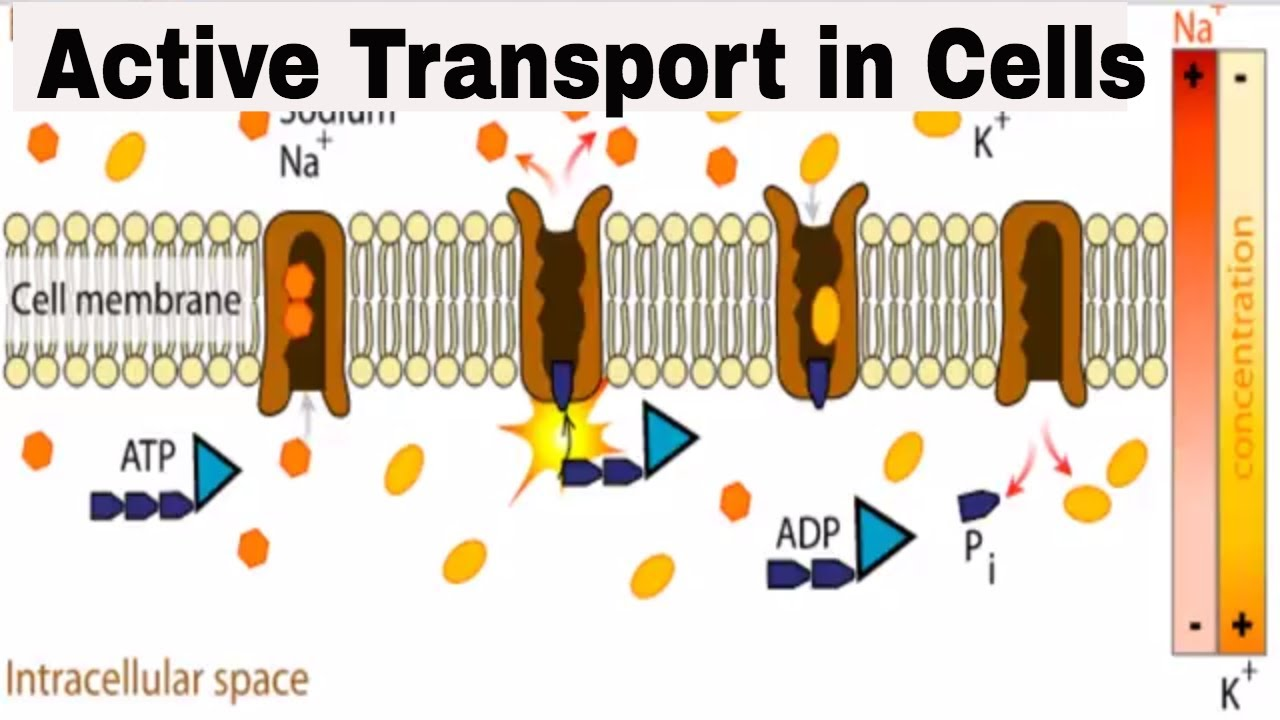 Active Transport In Cells Youtube