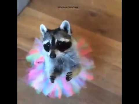hqdefault baby racoon ballet! youtube