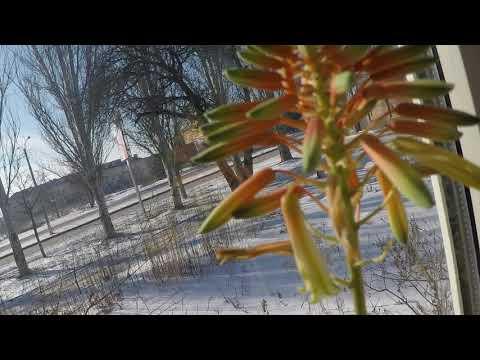 Цветущий алоэ 26 февраля