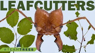 How do leafcutter ants cut leaves off of trees? #TeamTrees
