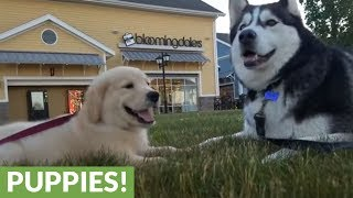 """Siberian Husky """"chats"""" with Golden Retriever puppy"""