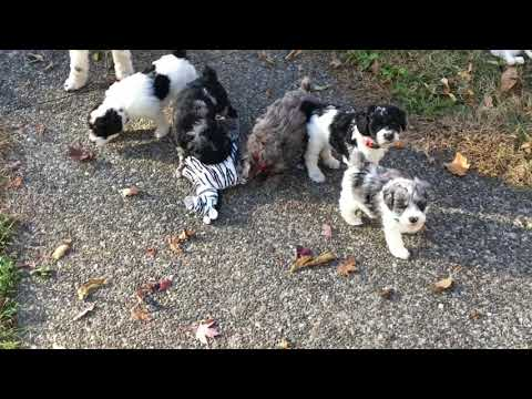 Judy's schnoodle puppies October 23, 2019