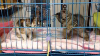 【子猫おもしろ猫カフェ通信】子猫3匹来ました。【cat cafe】It came th...