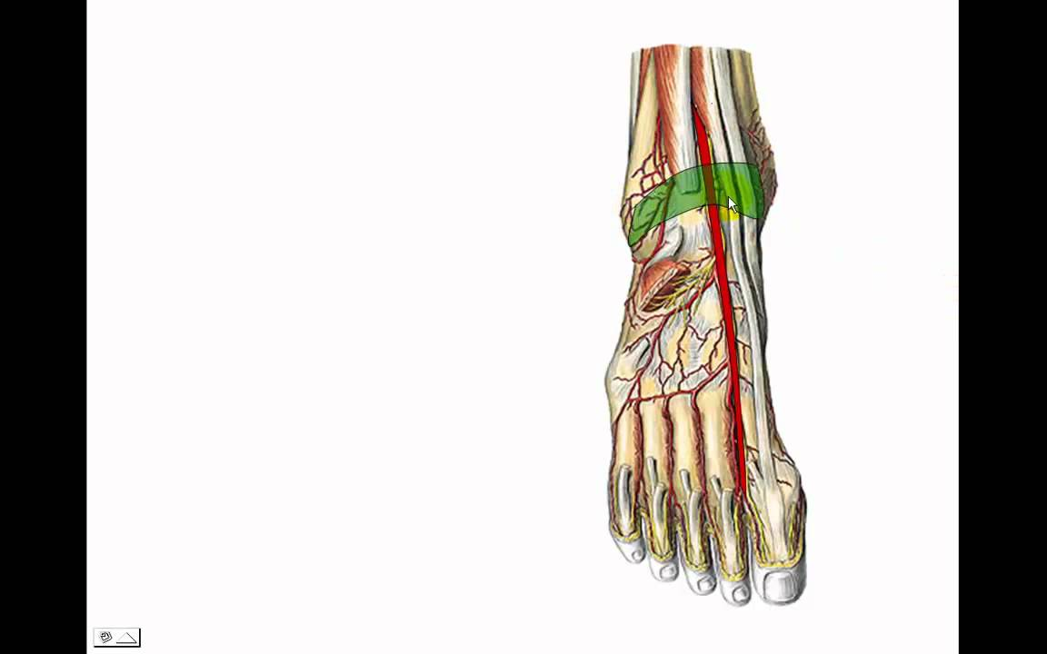 Arteria poplitea - YouTube