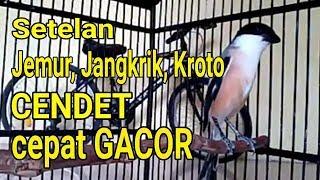 Setelan Cendet Jemur, Jangkrik, Kroto agar cepat GACOR