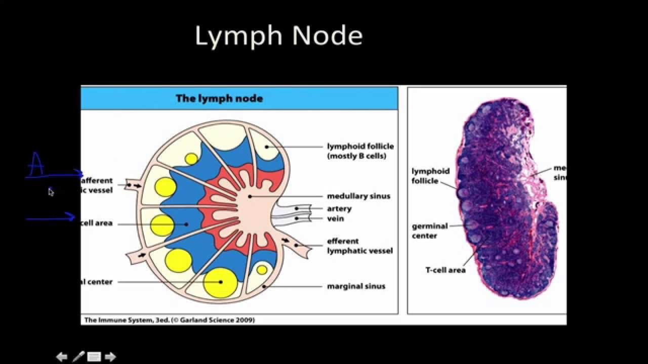 secondary lymphoid tissues Lymphatic cells are organized into tissues and organs based on how tightly the lymphatic cells are arranged and whether the tissue is encapsulated by a layer of connective tissue three general categories exist: diffuse, unencapsulated bundles of lymphatic cells this kind of lymphatic tissue.