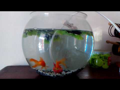 Happy & playful goldfish in fishbowl