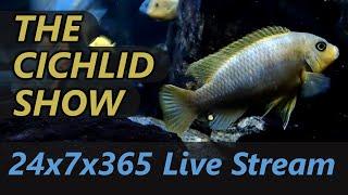 75G Malawi Cichlid Aquarium (30+ fish) 24x7 Live Stream
