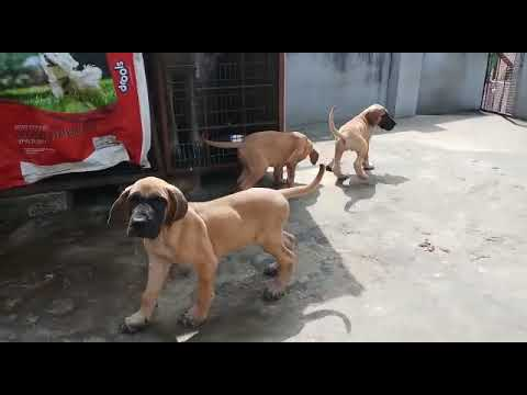 Fawn Great Dane Super quality puppy Available Dogshub India 9950330009
