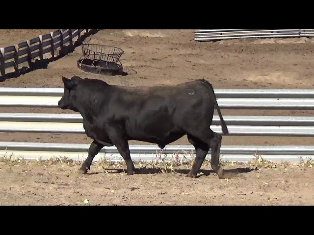Connealy Angus Lot 192