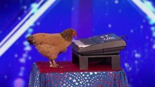 шок: курица потрясающе играет на пианино!
