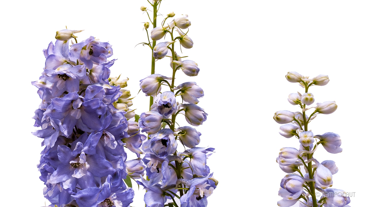 timelapse larkspur flower growing and blooming plant pflanzen