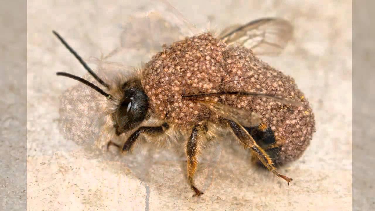 massiver milbenbefall chaetodactylus osmiae bei der rostroten mauerbiene youtube. Black Bedroom Furniture Sets. Home Design Ideas