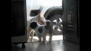 Shihtzu X Bull Terrier
