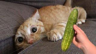 Я Ржал До Слез Приколы Смешные Видео Подборка Кошки боятся огурцов Веселые кошки