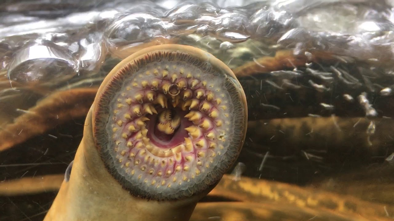 This is the inside of a sea lamprey's mouth - YouTube