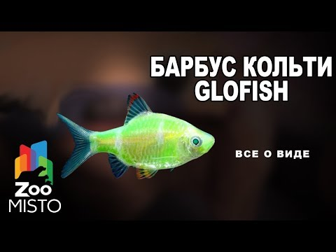 Барбус кольти GloFish Все о виде рыб   Рыба барбус кольти GloFish