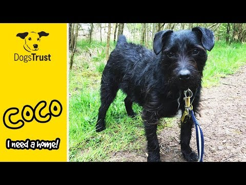 Coco the Bearded Collie Cross is a Cute Little Bean! | Dogs Trust West Calder