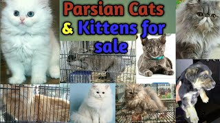 Sunday Multan dog  Cat and Kittens Market, Cats For Sale, Latest Update & Price  19.02.2020 in Pak.