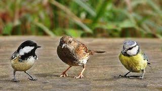Sons d'oiseaux de la forêt screenshot 5