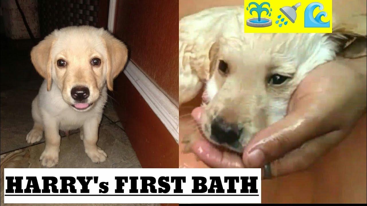 Labrador Harry first bath