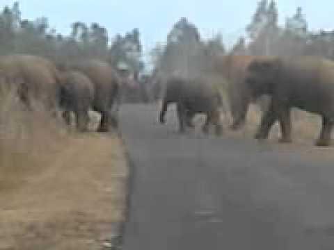 elephants in chandil.3gp