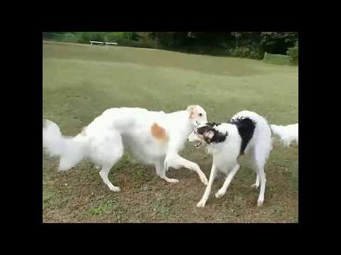 Borzoi & Borzoi Greyhound - Dogs Playing Videos