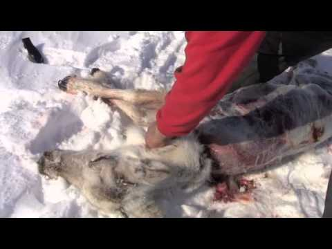 Inuit Survival - How to Prepare Caribou Quickly