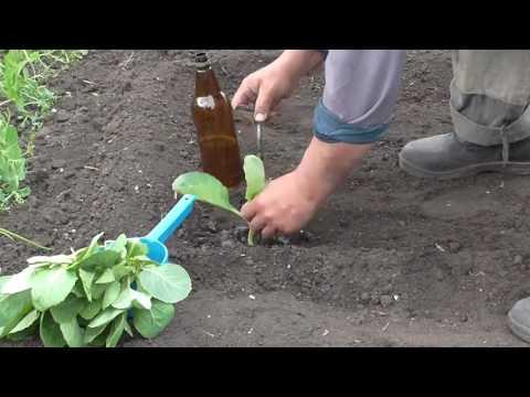 видео: Как посадить рассаду капусты без воды