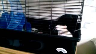 My rat Skittles is potty trained