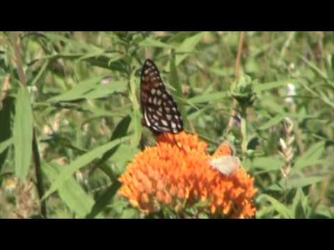 Want to see rare regal fritillary butterflies for free? There's a guided tour at Fort Indiantown Gap