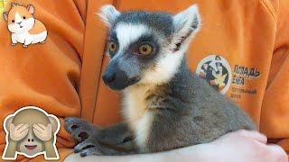 Смешной Лемур целуется, залазит на голову и перегрызает шнур. Funny Lemur video for kids
