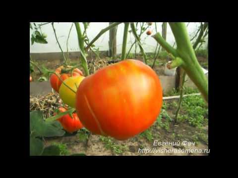 Сорта помидоров с фото. Помидоры для Подмосковья