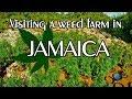 Weed Farm JAMAICA | Plantation / Ganja Field | GoPro Vlog 1080p 420FPS