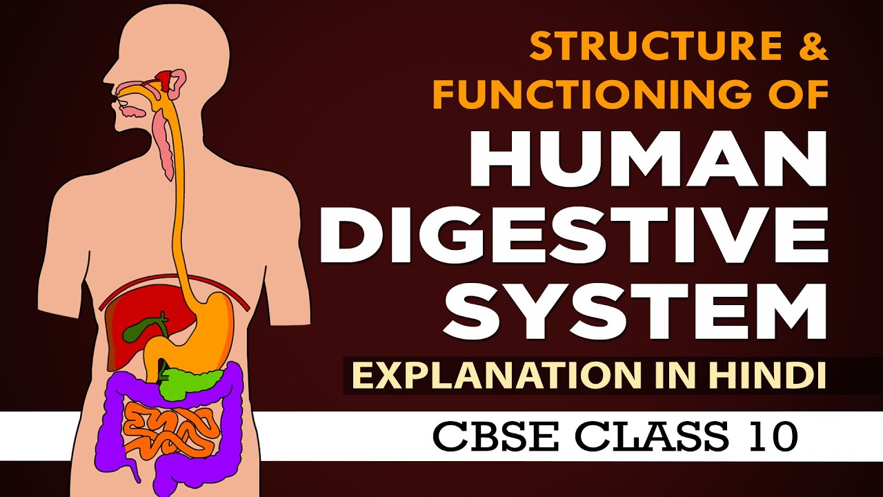 Human Digestive System in Hindi |Life processes class 10 science biology |CBSE 10th | NCERT class 10
