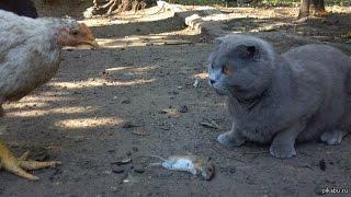 ✴Жесть! Курица-хищница ! ✴Ест мышь у кота✴/Сat and chicken