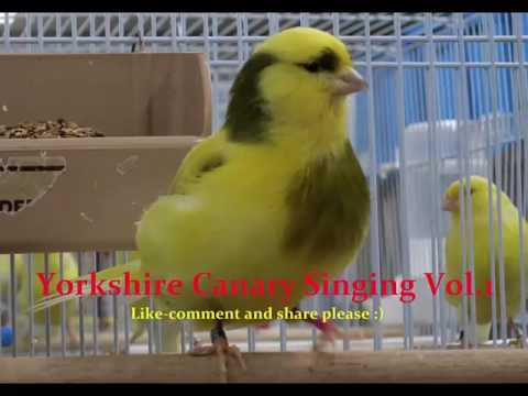 Yorkshire Canary Singing Vol.1 -ONE OF THE BEST CANARY TRAINING SOUND