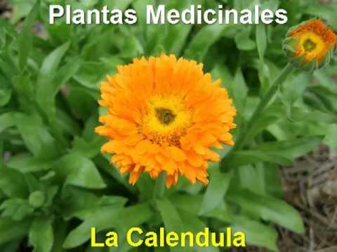 Plantas medicinales la calendula youtube for Para q sirven las plantas ornamentales